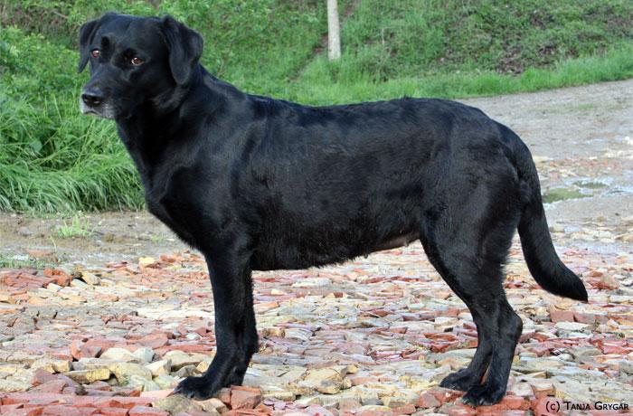 Il Diario Della A Cucciolata Gravidanza Questing Labrador