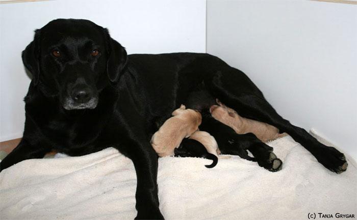 Il Diario Della A Cucciolata Le Prime 8 Settimane Questing Labrador
