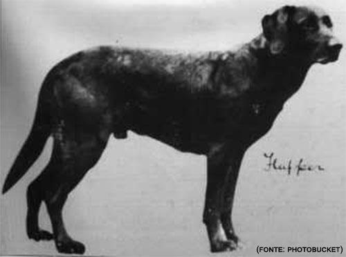 Labrador Linea Da Lavoro Linea Di Bellezza Questing Labrador